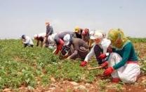 Tarım İşçiliğinde Kadınlar Ucuza Çalıştırılıyor, Şartları da Çok Kötü