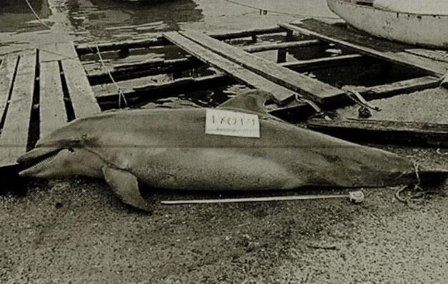 İstanbul Boğazında av tüfeği ile yunusu katlettiler